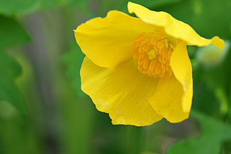 woodpoppy_7936.jpg