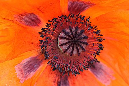 poppy_8672.jpg