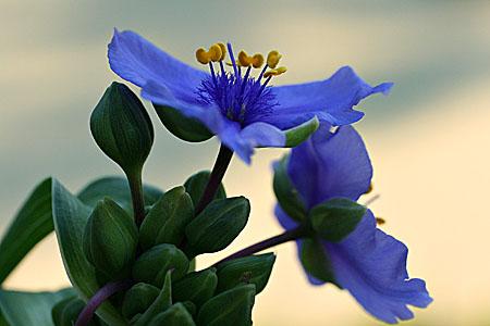 spiderwort_8655.jpg