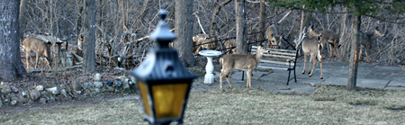 Backyard Deer - Humber River, Toronto
