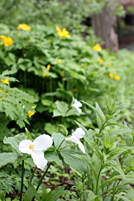 Trilliums and Wood Poppy