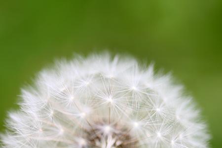 Dandelion Top