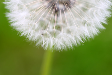 Dandelion Bottom