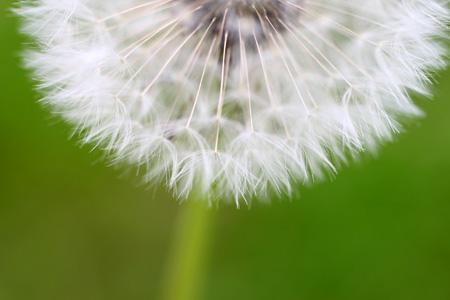 Dandelion Bottom