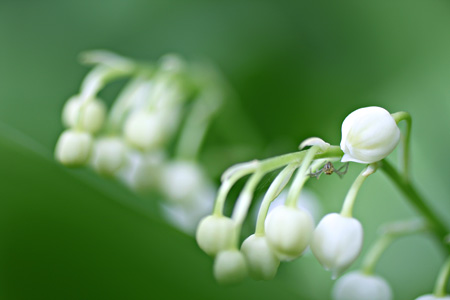 Lily of the Valley and Spider