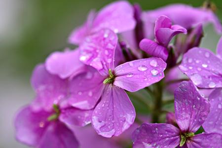 Wild Phlox After Rain