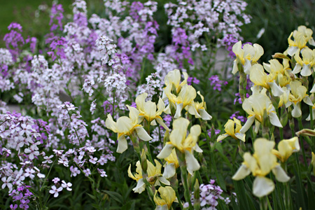 Bearded Iris and Wild Phlox